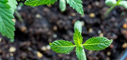 photo sprout cannabis plants in soil
