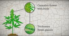 Video thumbnail: Cannabis resin productione