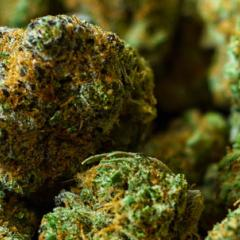 close up of dried cannabis buds