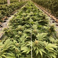 Interior of medical cannabis growing facility