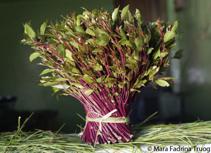 Khat chewing in Yemen: turning over a new leaf